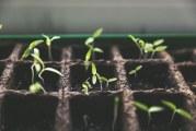 Коли садити перці, огірки і помідори на розсаду в 2017 році