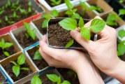 Як і коли садити болгарський перець на розсаду