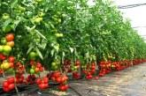 Які сорти томатів дають найбільший врожай