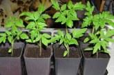 6 порад щодо вирощування розсади