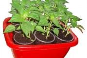 Як доглядати за розсадою болгарського перцю