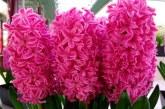 Як змусити гіацинт цвісти зимою