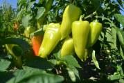 Як виростити хороший перець з насіння