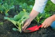 Коли висівати насіння на розсаду капусти