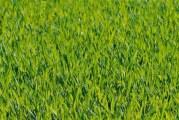Чому трава навесні зелена