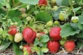 Чим підживити полуницю ранньою весною