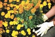 Як просто використовувати чорнобривці в захисті рослин від хвороб і шкідників