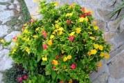 Як доглядати за декоративним рослиною Нічна красуня