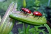 Як позбутися від червоних жуків на лілеї