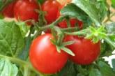 Як правильно зберігати томати