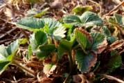 Чим підживити полуницю після обрізки листя