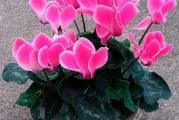Чому не цвіте цикламен