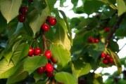 Який сорт вишні вибрати для вирощування на Україні