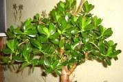 Як виростити грошове дерево в домашніх умовах