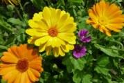 Які квіти можна садити під зиму
