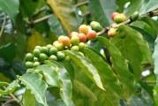 Кава Арабіка – догляд в домашніх умовах