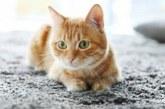 Як позбавитися від запаху котячої сечі народними засобами