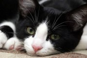 Кальцивироз у кішок — причини і ознаки, симптоми, діагностика і схема лікування