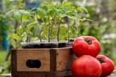 Коли висівати на розсаду основні городні овочі. Поради професіонала