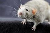 Як позбутися від щурів народними засобами
