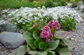 З якими рослинами посадити бадан