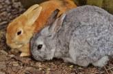 Міксоматоз у кроликів: причини, симптоми, лікування та профілактика