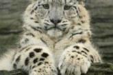 Тварина ірбіс: опис, ареал проживання